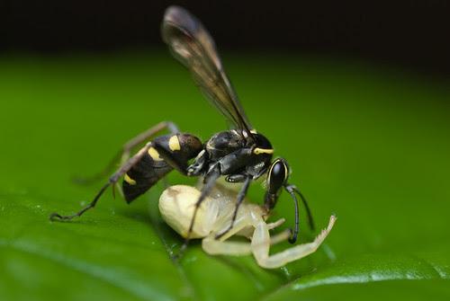 wasp with crab spider prey DSC_7733 copy
