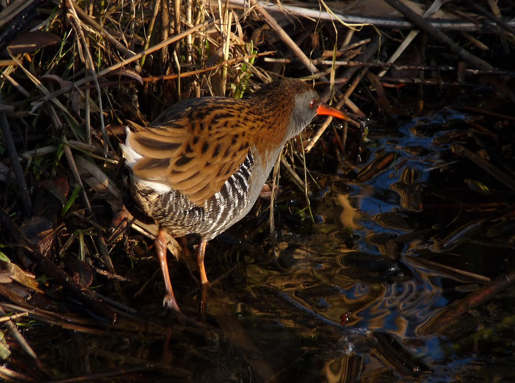 23790 - Water Rail, Sandy Water Park, Llanelli