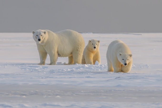 Polar Bears in the Age of Global Warming