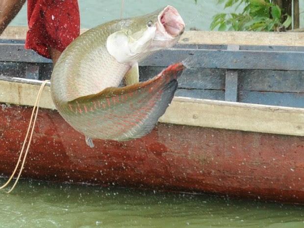 Espécie pode medir até três metros de comprimento e pesar até 200 Kg (Foto: Agecom/Divulgação)