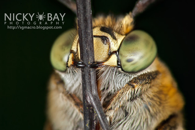 Sweat Bee (Amegilla sp.?) - DSC_0912