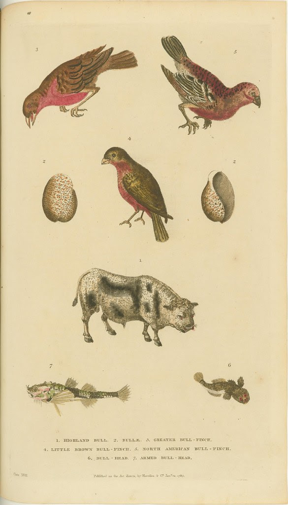 Birds, shells, bull, and fish - book illustration from 1785