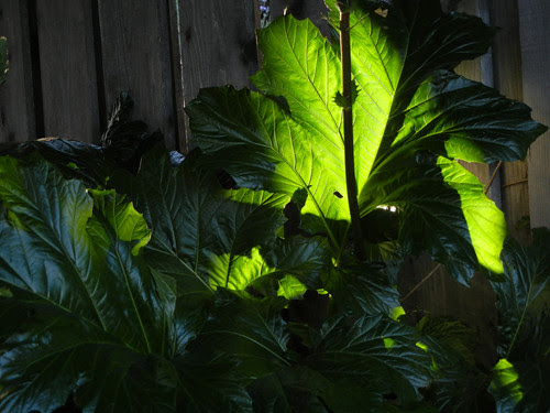 Back Lit Leaves _ 8591