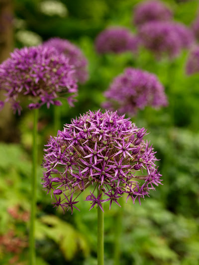 Allium Violet Beauty | Quality Flower Bulbs | YouTulip.co.uk