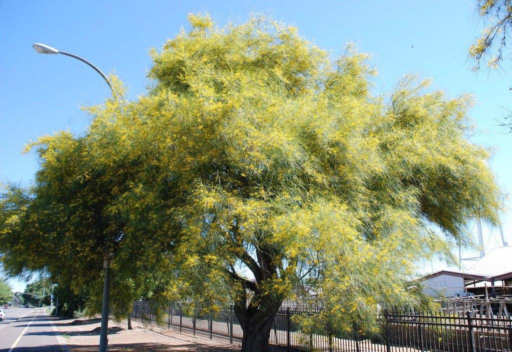Amazon.com : Parkinsonia Aculeata, Jerusalem Thorn Palo Verde ...
