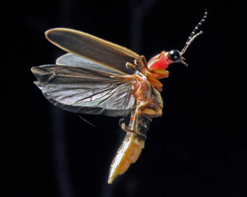 Photinus Pyralis Eastern USA firefly