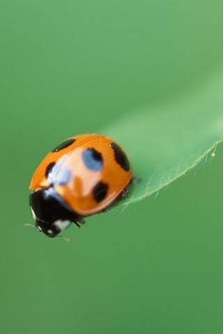 Ladybug iPhone wallpaper
