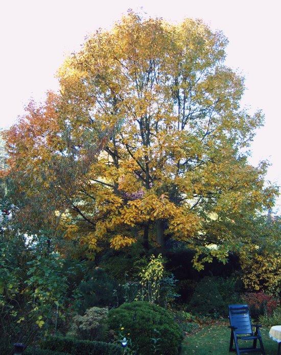 Amerikanische Roteiche im Herbst-11102008-010