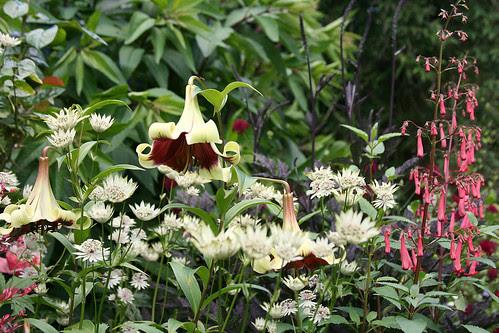 lilies, astrantia, phygelius