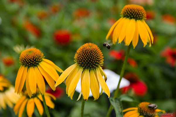 a flying bee attracted by bright yellow coneflowers