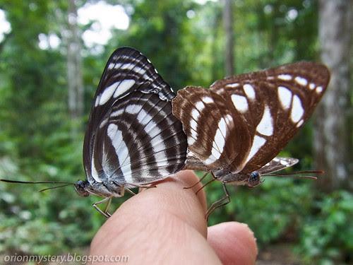 mating pair of butterflies R0020918 copy