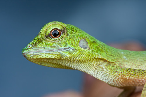 an immature green crested lizard, <i>Bronchocela cristatella </i> IMG_6898 copy