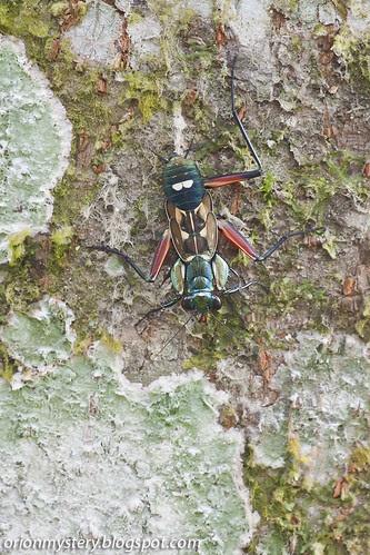 Metallyticus splendidus mantis IMG_5358 copy