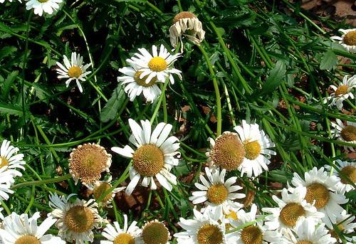 Unfresh daisies