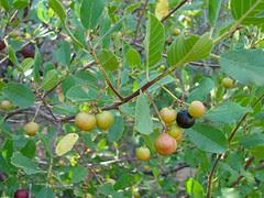 sierra coffeeberry - rhamnus rubra