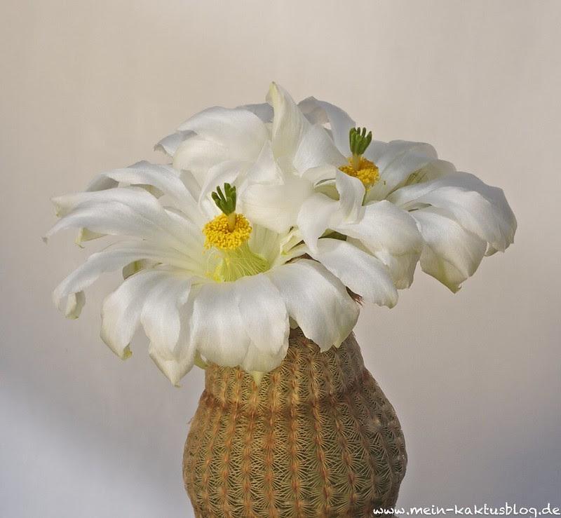 Echinocereus rigidissimus ssp. rubispinus LAU 088 cv. K.W. Beisel