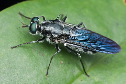 Blue spiny soldier fly diptera............IMG_2145 copy