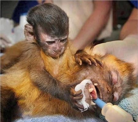 Cái kết bất ngờ đằng sau bức ảnh khỉ mẹ ôm xác con gào khóc - Ảnh 1.