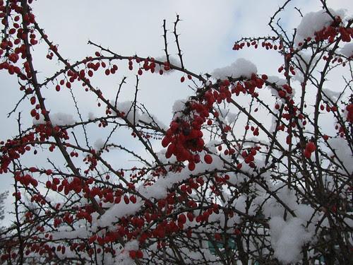 snow on thorns