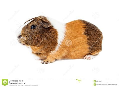 Guinea Pig Side View On White Stock Photo   Image of rodent, guinea: 66156174