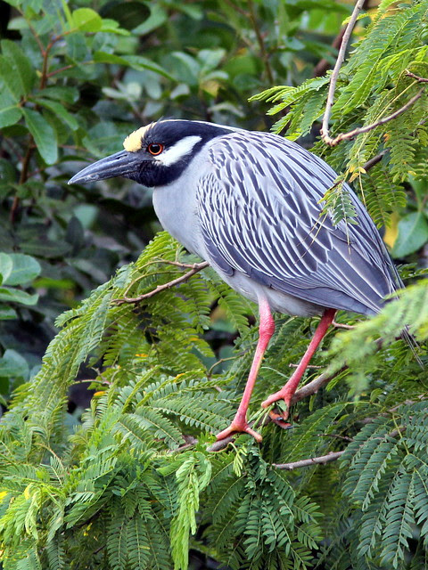 Yellow-crowned Night-Heron male near nest 9-5 non-HT 20130406