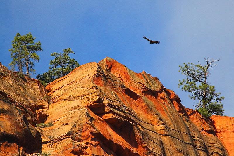 IMG_7414 California Condor