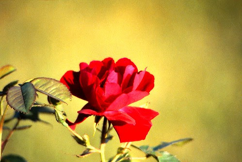 IMG_00074_Red_Rose_1983