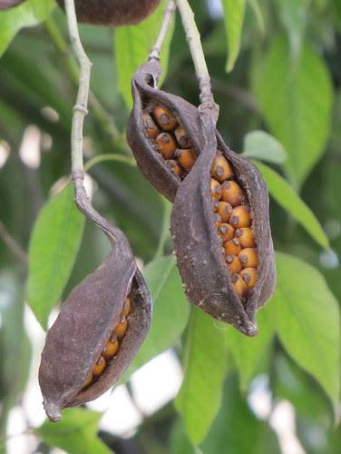 Pod and seeds