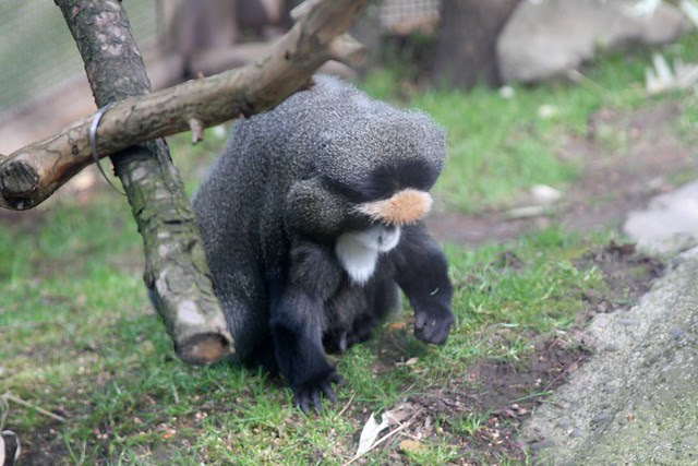 De Brazza's Monkey, Oregon Zoo