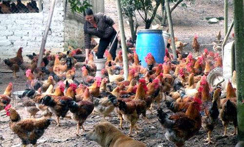 thực-phẩm, Tết-Nguyên-đán, tăng, giá, gà, lợn, Tết, người-chăn-nuôi, găm-hàng