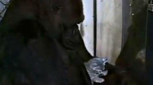 goril 734040068 ΣΥΓΚΛΟΝΙΣΤΙΚΟ: Γορίλας κλαίει γιατί έχασε τον φίλο του... (βίντεο)