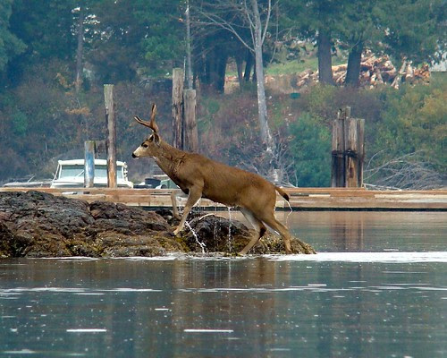 Deer Coming Out of the Water 2