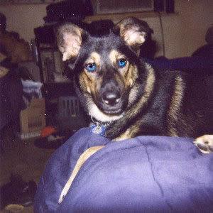 Husky And German Shepherd Mix Dog Breeds