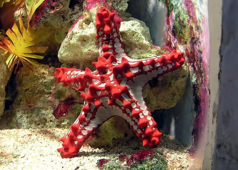 File:Red-knobbed.starfish.arp.jpg