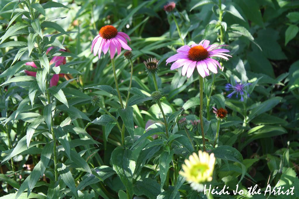 Purple Coneflower 2