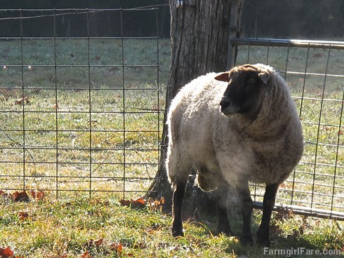(3a) Da Big Guy, our five year old mostly Suffolk, totally studly ram - FarmgirlFare.com