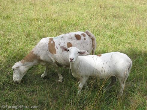 (22) Katahdin sheep Clarissa and her daughter Isabelle - FarmgirlFare.com