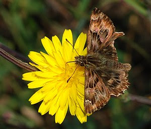 False Mallow Skipper (Carcharodus tripolinus).