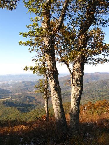 Overlook Trees
