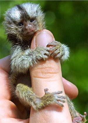 Finger Monkeys
