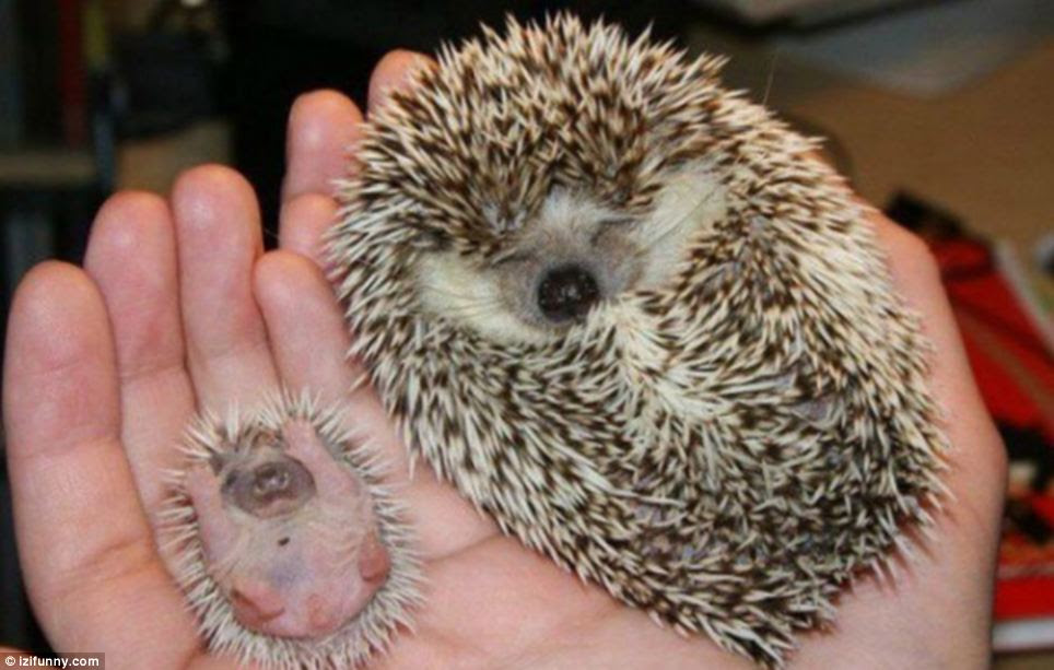 Big hedgehog little hedgehog