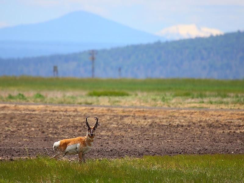 IMG_6572 Pronghorn, Ash Creek Wildlife Area, CA