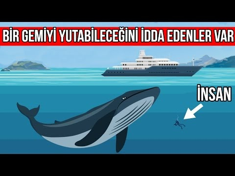 Mavi Balinalar Hakkında Sıra Dışı En ilginç Bilgiler - Hayvanlar Alemi (VİDEO)