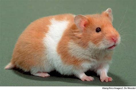 Hamster dictionary definition   hamster defined