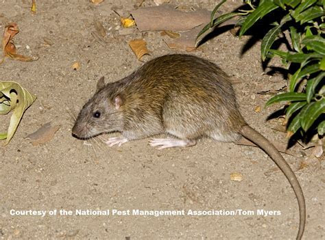 Rats   Facts About Rats   Types of Rats   PestWorldforKids.org