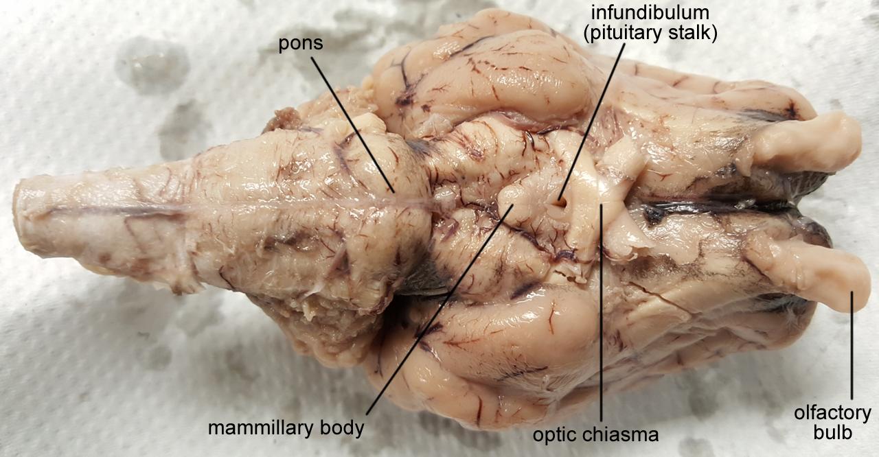 brain sheep chiasma 1280px labeled