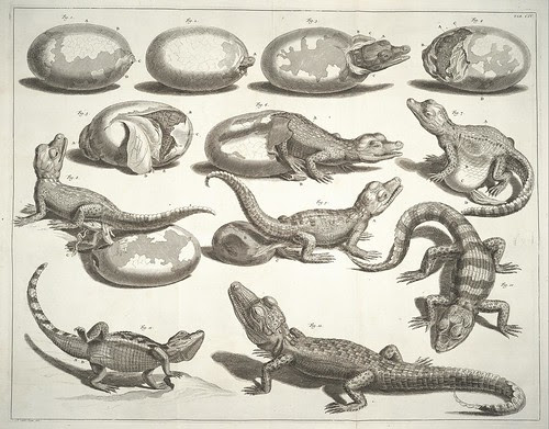 hatching alligator drawings