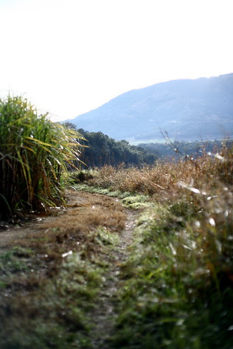 Road through the sugar cane