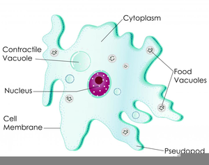 Amoeba Cell Labeled | Free Images at Clker.com - vector ...