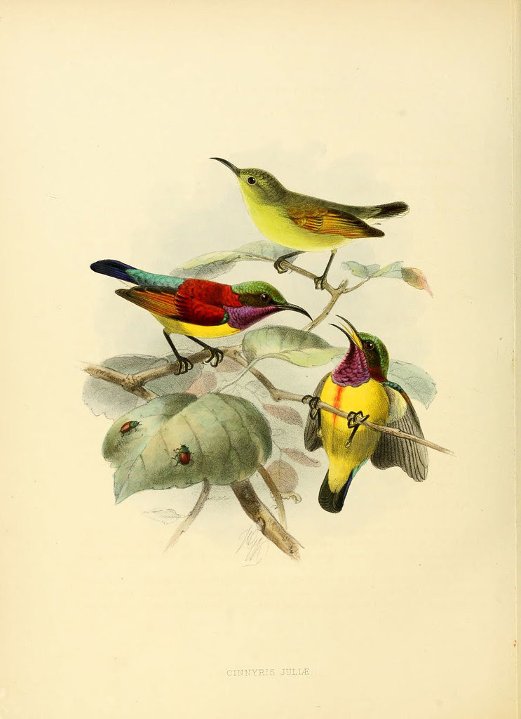 sketch of birds in antique ornithology book